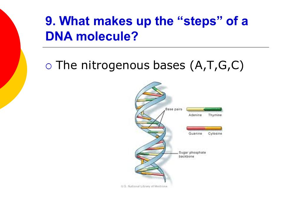 9. What makes up the steps of a DNA molecule