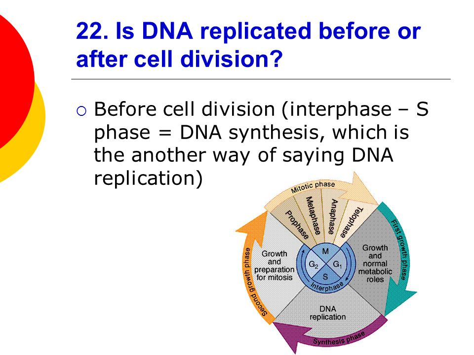 22. Is DNA replicated before or after cell division