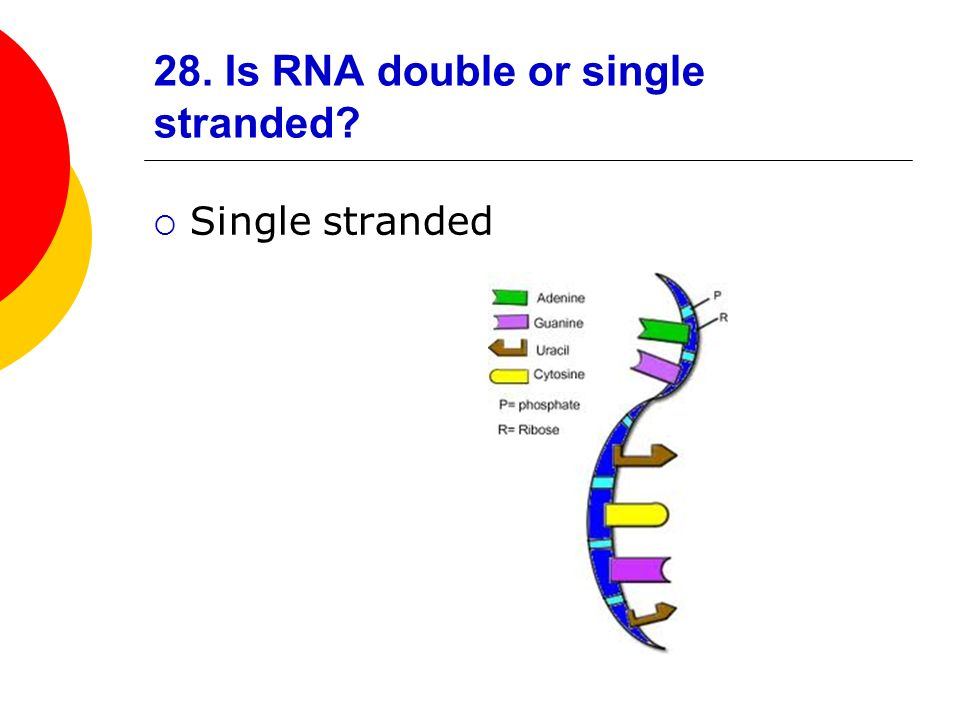 28. Is RNA double or single stranded