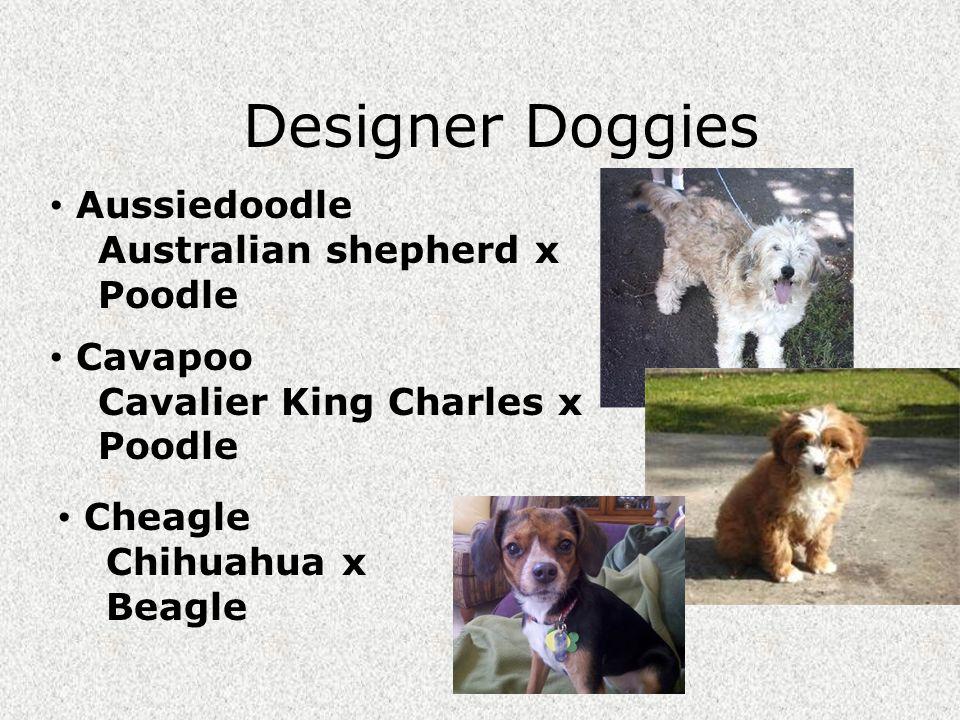 Designer Doggies Aussiedoodle Australian shepherd x Poodle Cavapoo