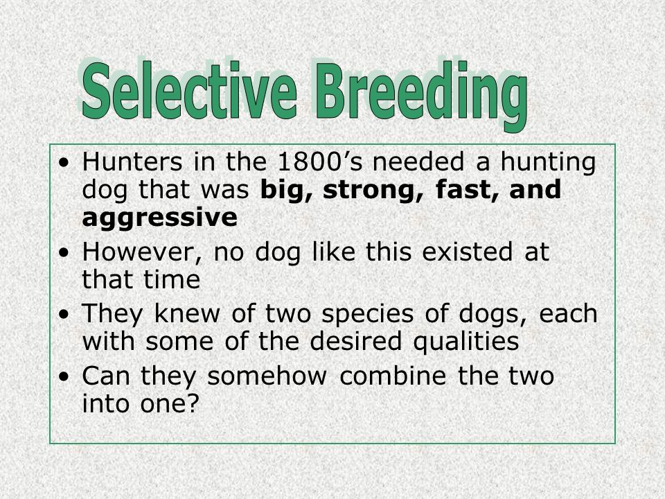 Selective Breeding Hunters in the 1800's needed a hunting dog that was big, strong, fast, and aggressive.
