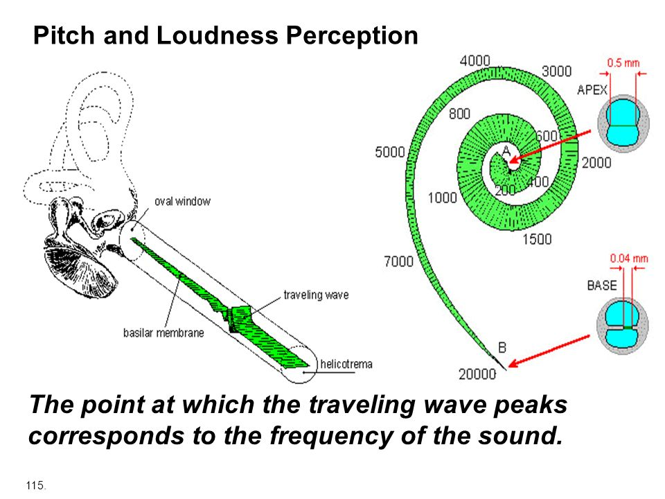 Pitch and Loudness Perception