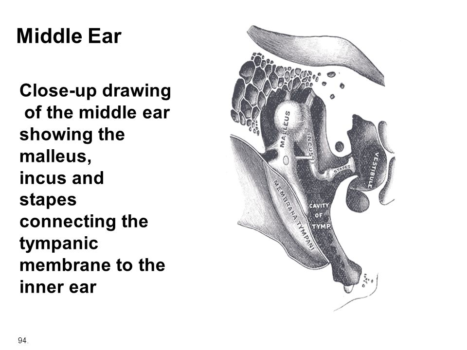 Middle Ear Close-up drawing of the middle ear showing the malleus,