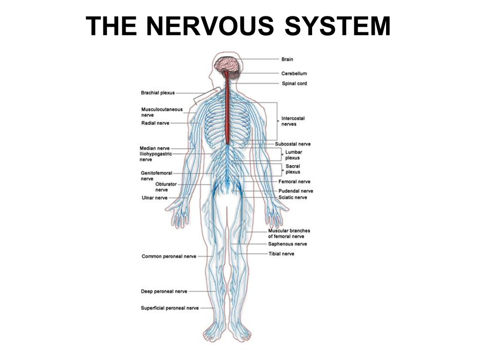 THE NERVOUS SYSTEM