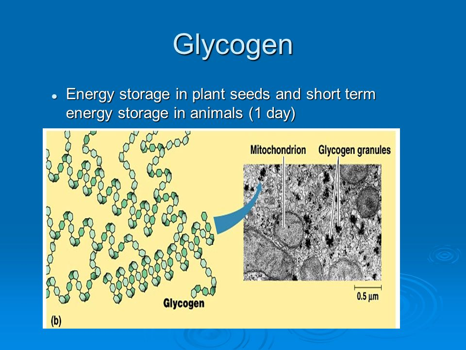 Glycogen Energy storage in plant seeds and short term energy storage in animals (1 day)