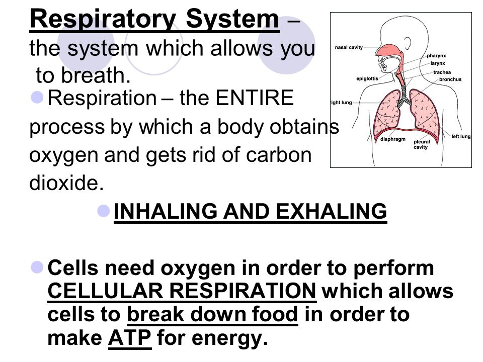 Respiratory System – the system which allows you to breath.