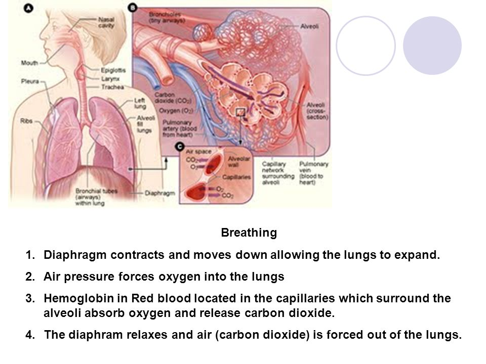 Breathing Diaphragm contracts and moves down allowing the lungs to expand. Air pressure forces oxygen into the lungs.