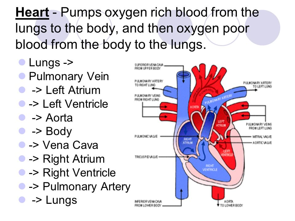 Heart - Pumps oxygen rich blood from the lungs to the body, and then oxygen poor blood from the body to the lungs.