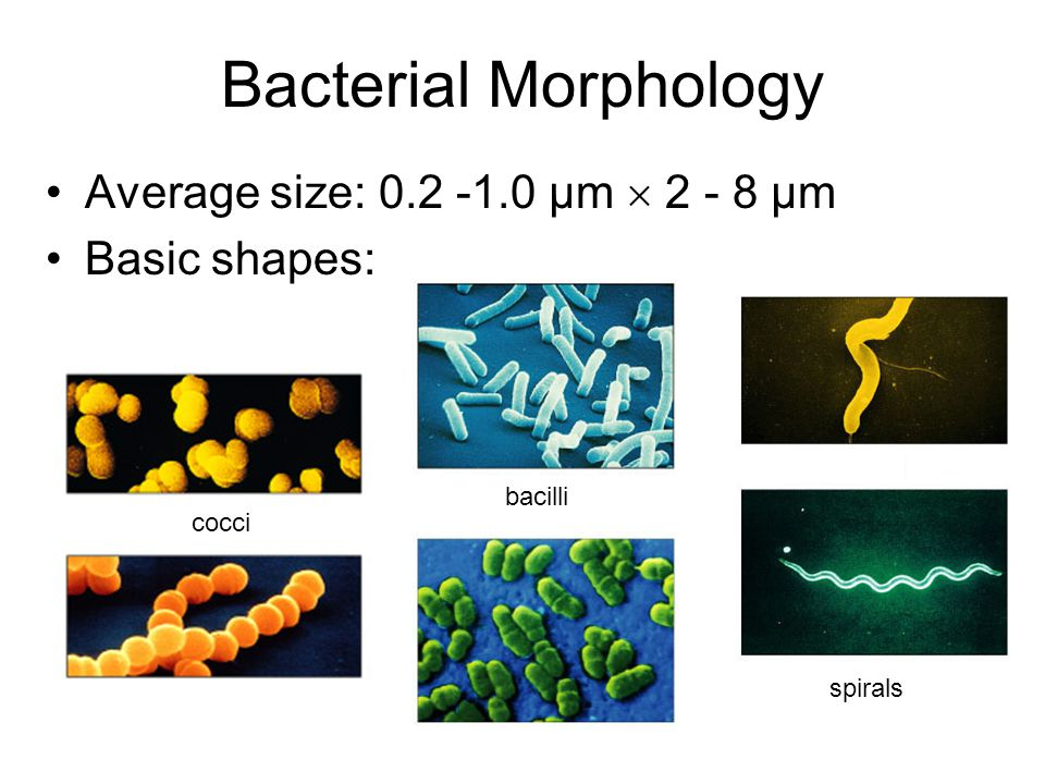 Bacterial Morphology Average size: 0.2 -1.0 µm  2 - 8 µm