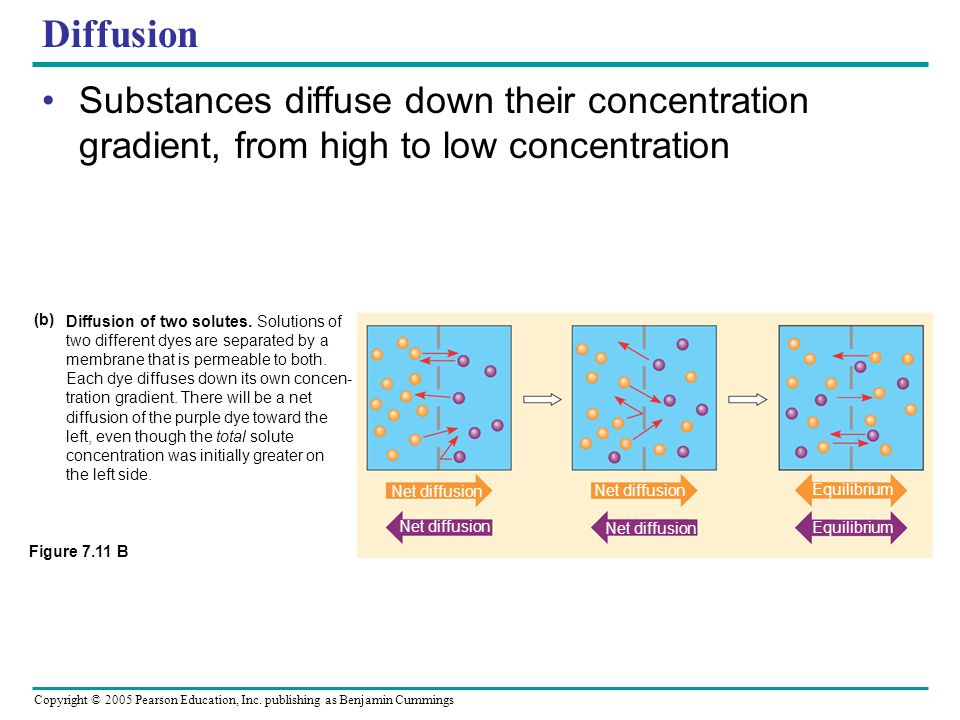 Diffusion Substances diffuse down their concentration gradient, from high to low concentration. Figure 7.11 B.