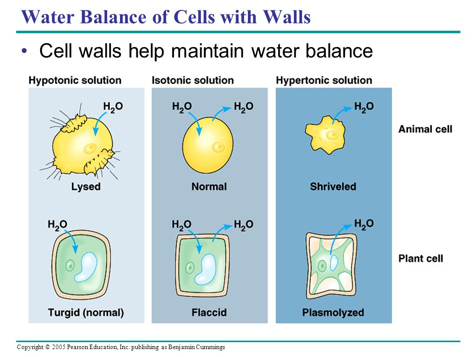 Water Balance of Cells with Walls
