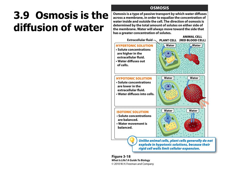 3.9 Osmosis is the diffus the passive diffusion of water