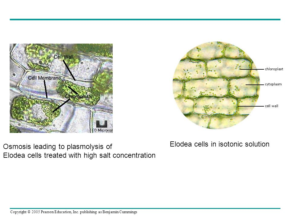 Elodea cells in isotonic solution