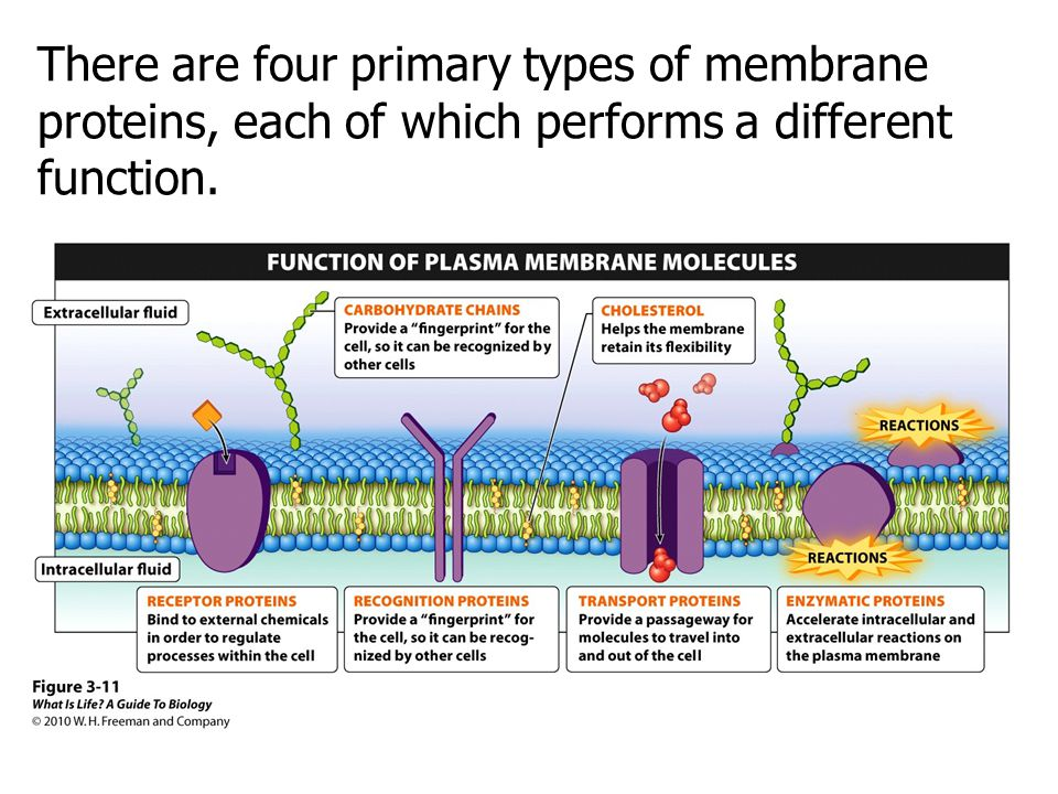 There are four primary types of membrane proteins, each of which performs a different function.