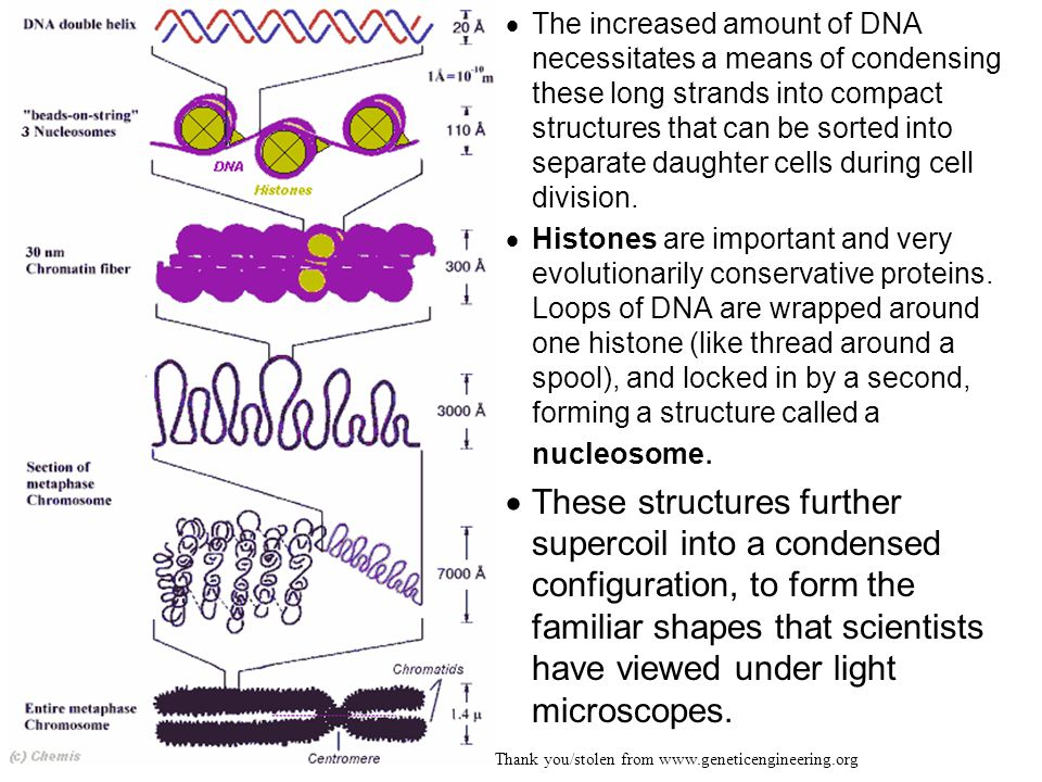 The increased amount of DNA necessitates a means of condensing these long strands into compact structures that can be sorted into separate daughter cells during cell division.