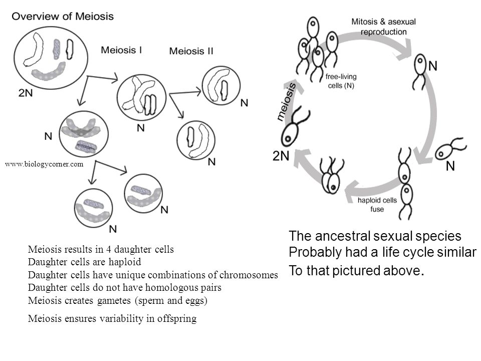 The ancestral sexual species Probably had a life cycle similar