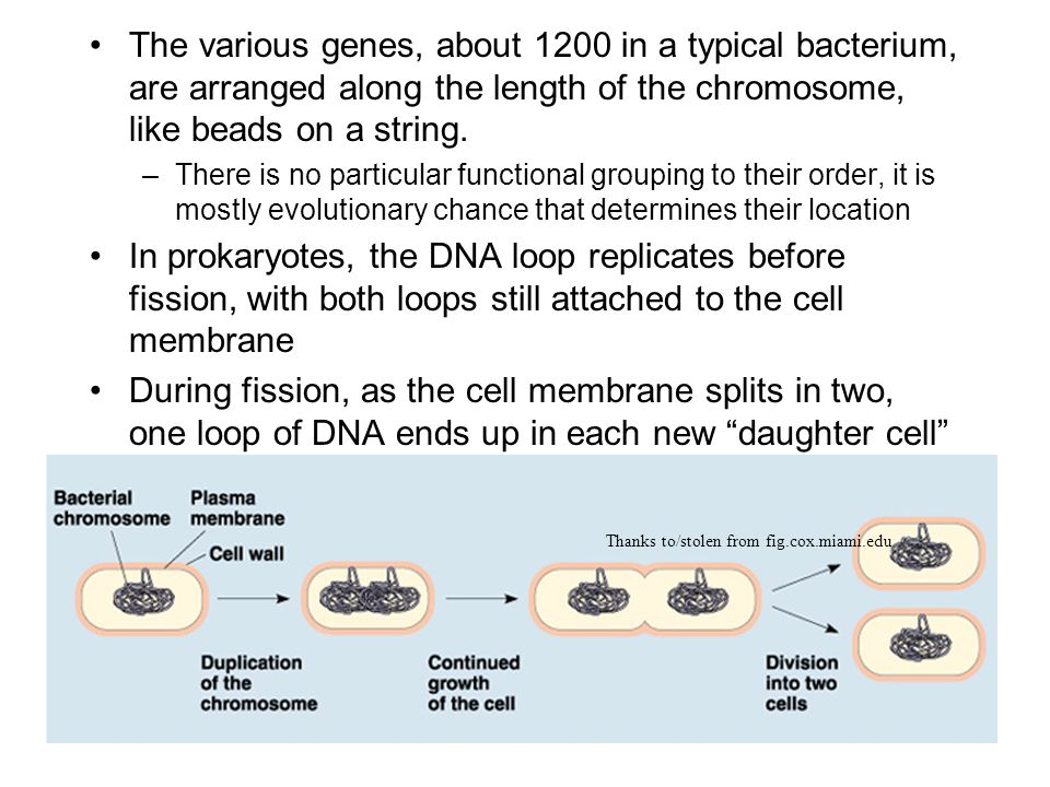 The various genes, about 1200 in a typical bacterium, are arranged along the length of the chromosome, like beads on a string.