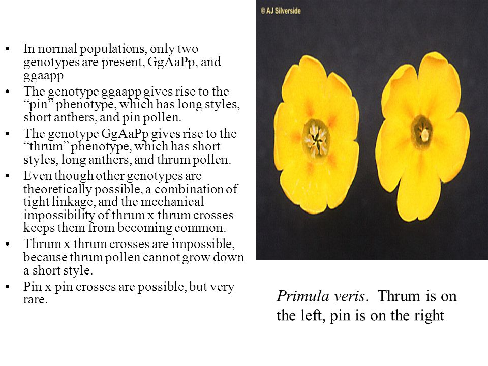 Primula veris. Thrum is on the left, pin is on the right