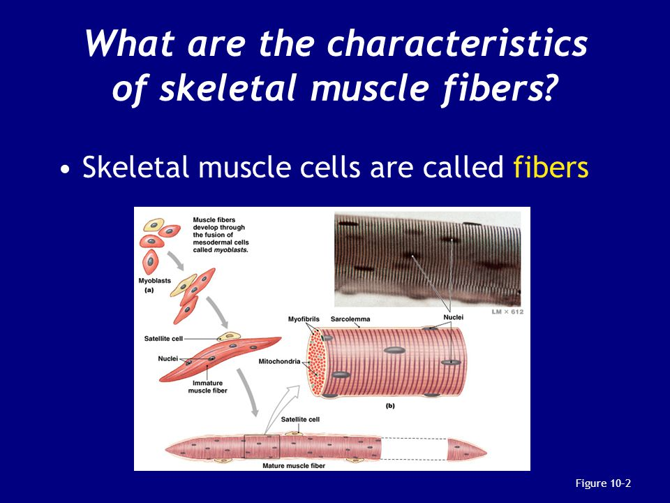 What are the characteristics of skeletal muscle fibers