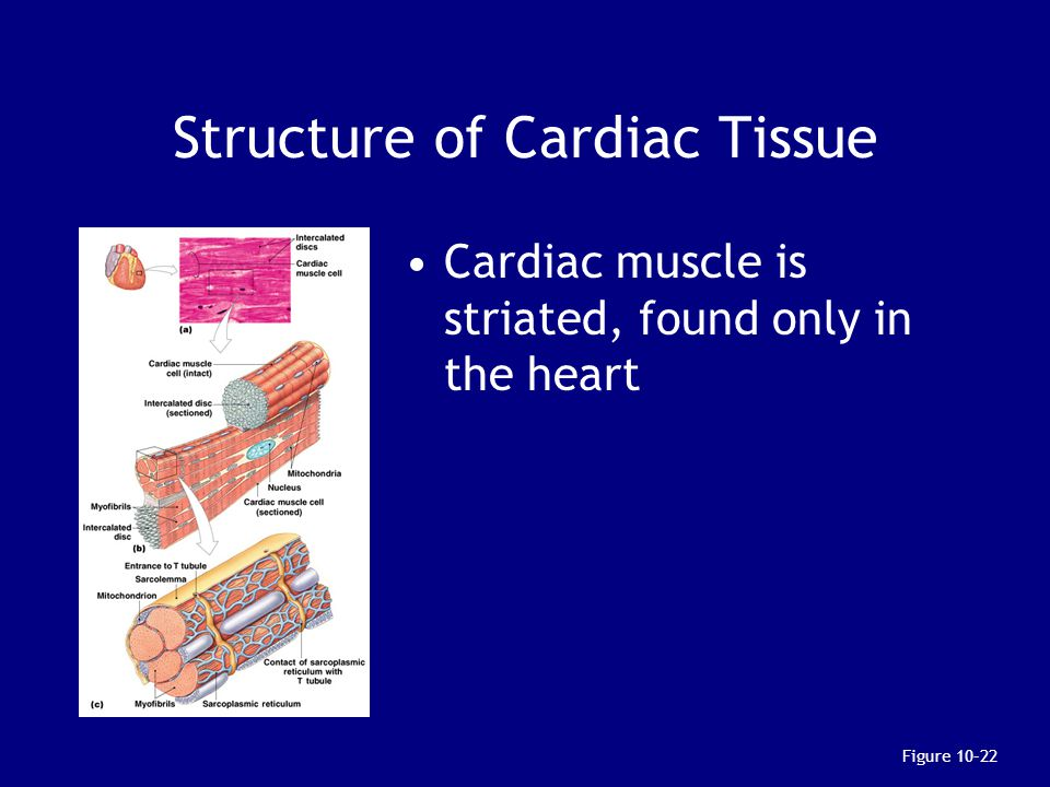 Structure of Cardiac Tissue