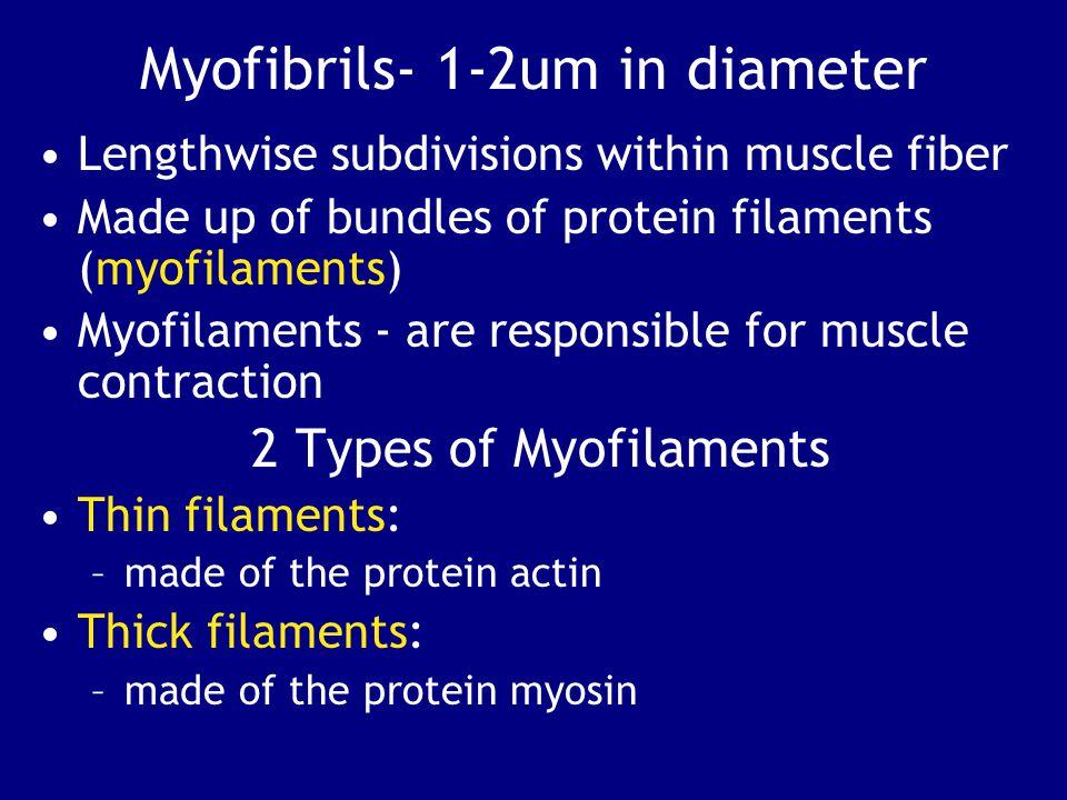 Myofibrils- 1-2um in diameter