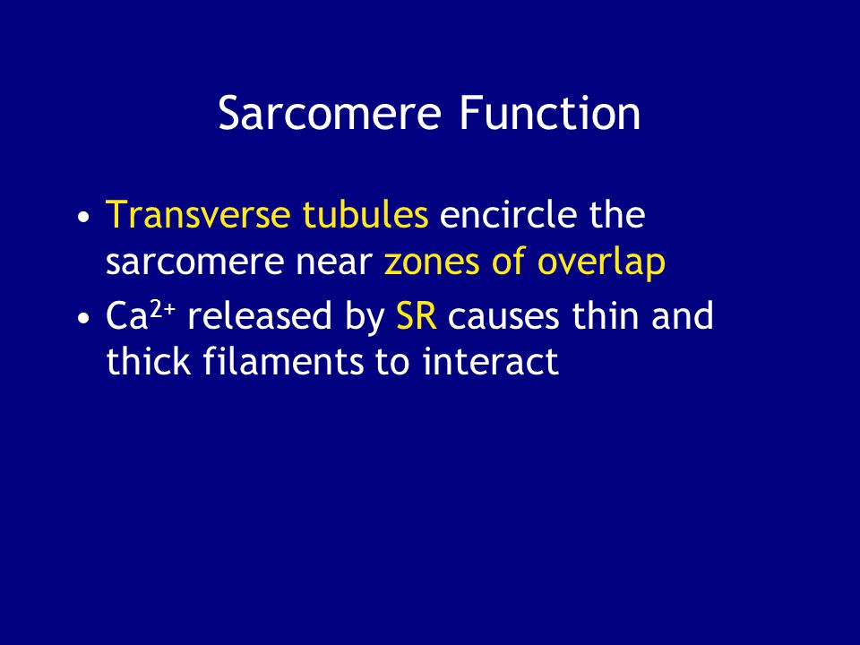 Sarcomere Function Transverse tubules encircle the sarcomere near zones of overlap.