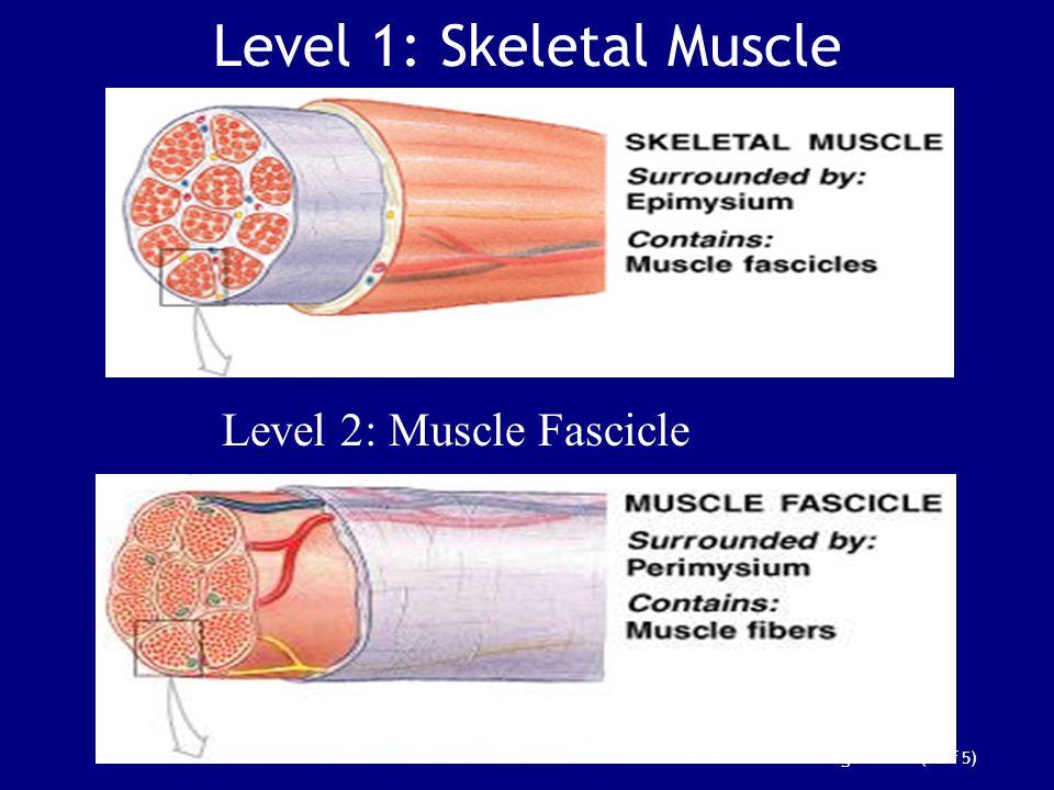 Level 1: Skeletal Muscle