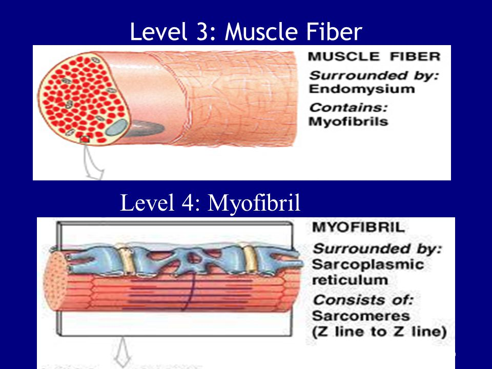 Level 3: Muscle Fiber Level 4: Myofibril Figure 10–6 (3 of 5)
