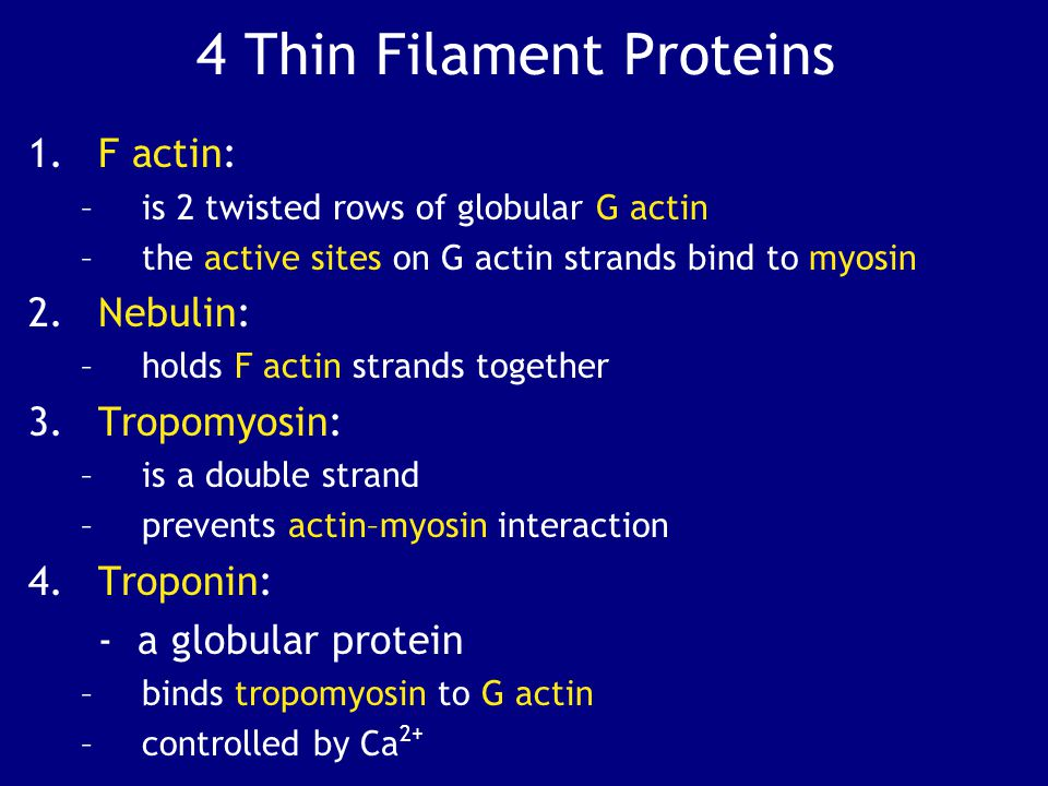 4 Thin Filament Proteins
