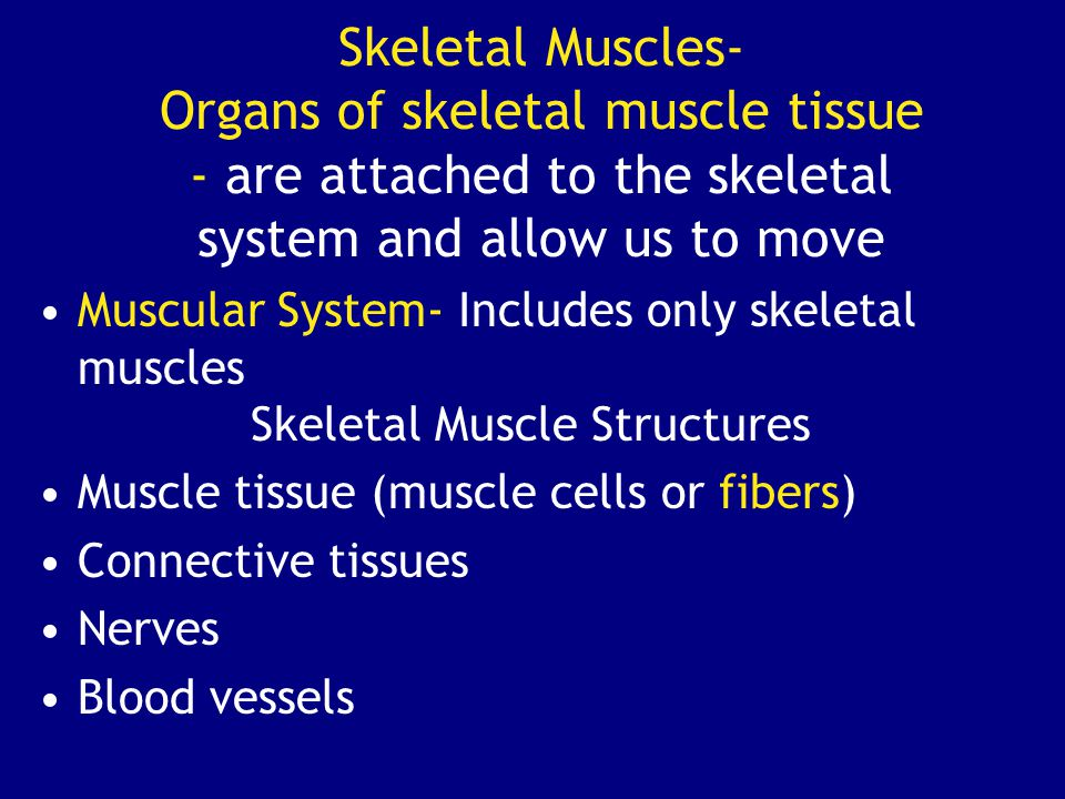Skeletal Muscles- Organs of skeletal muscle tissue - are attached to the skeletal system and allow us to move