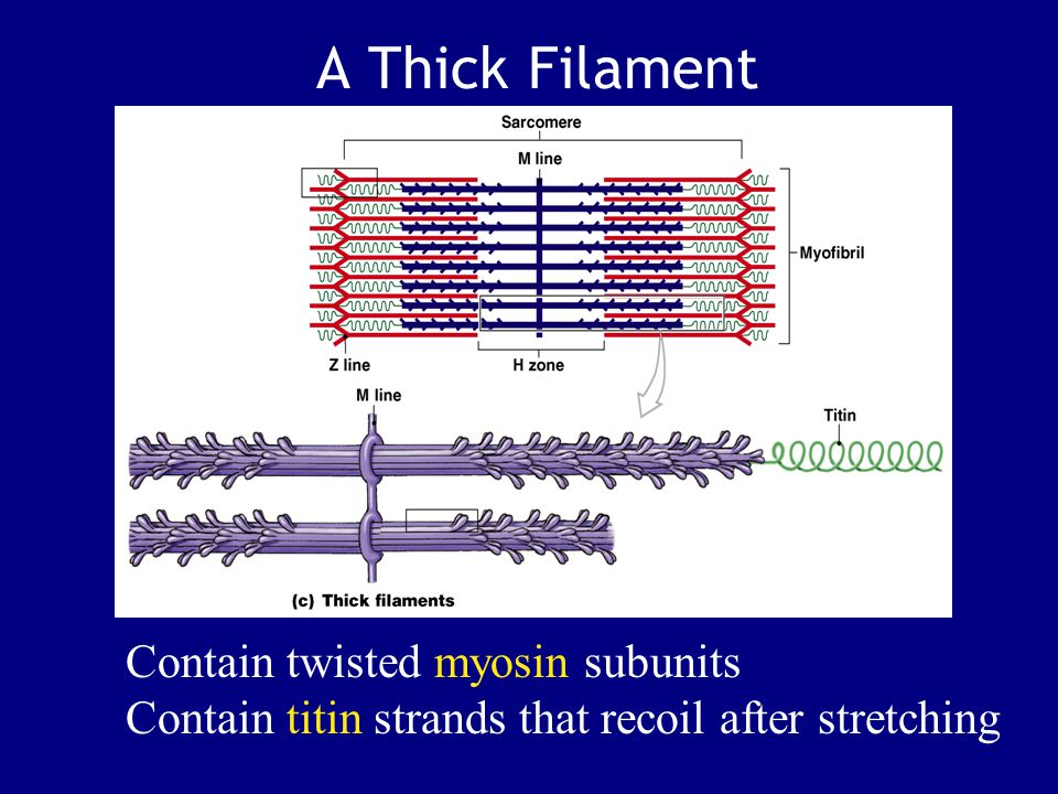 A Thick Filament Contain twisted myosin subunits