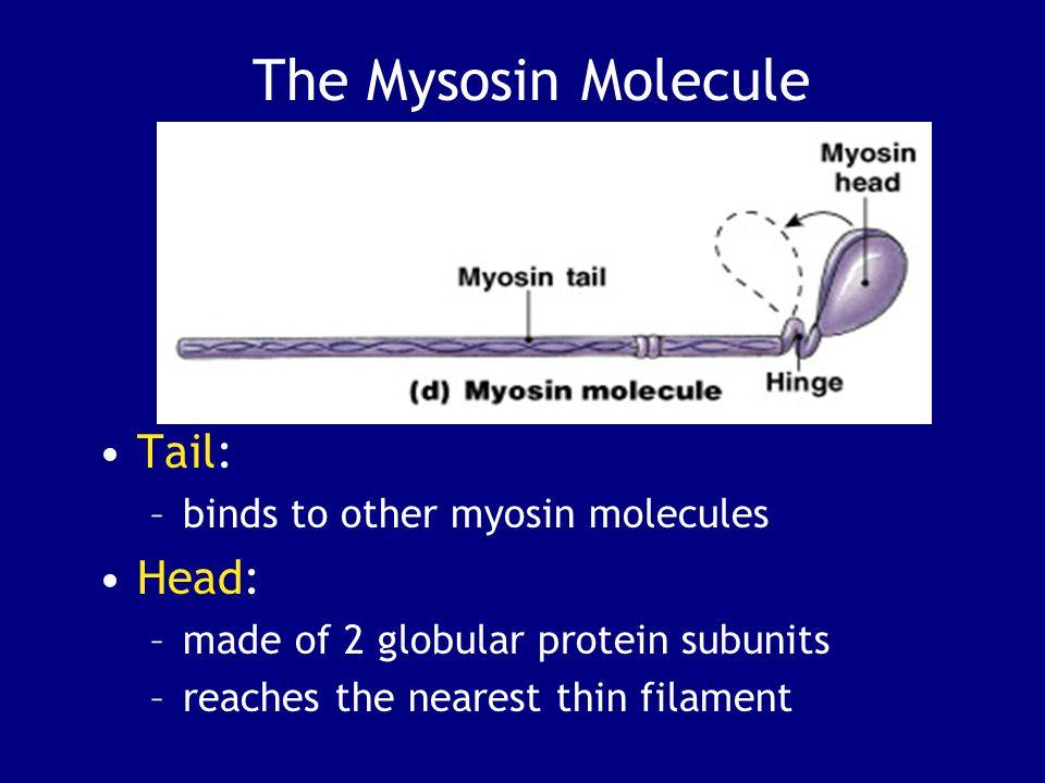 The Mysosin Molecule Tail: Head: binds to other myosin molecules