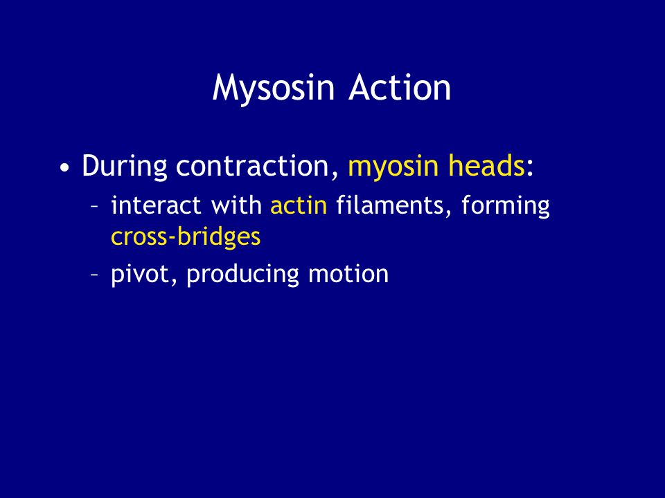 Mysosin Action During contraction, myosin heads: