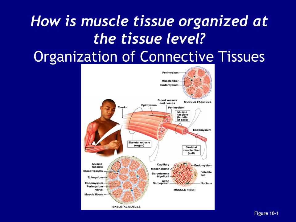 How is muscle tissue organized at the tissue level