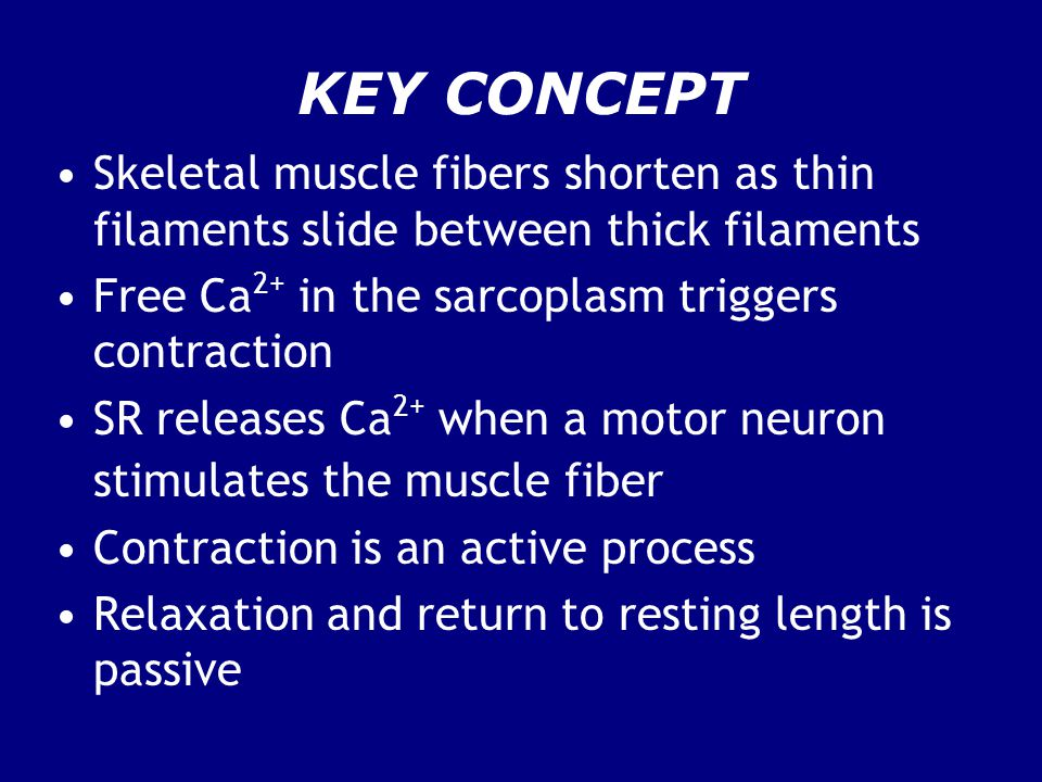 KEY CONCEPT Skeletal muscle fibers shorten as thin filaments slide between thick filaments. Free Ca2+ in the sarcoplasm triggers contraction.