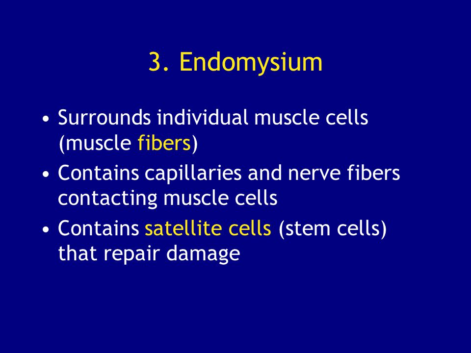 3. Endomysium Surrounds individual muscle cells (muscle fibers)