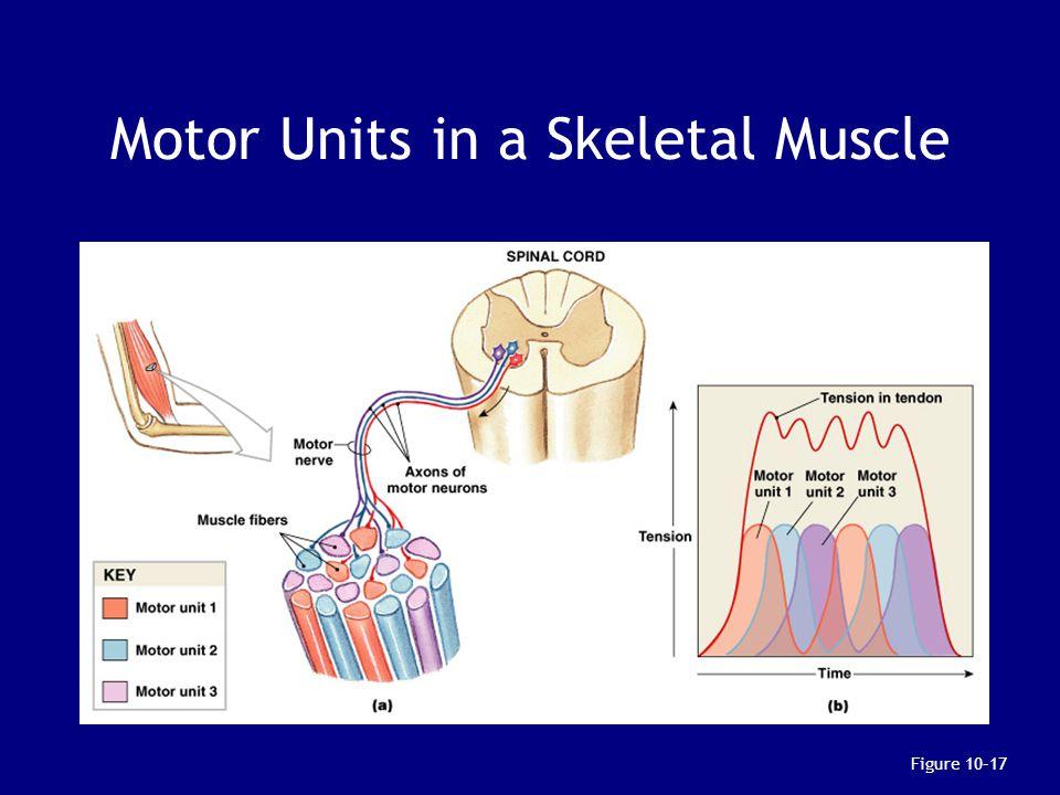 Motor Units in a Skeletal Muscle