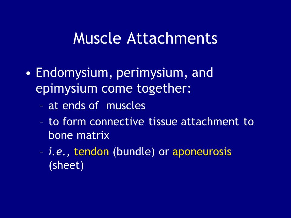 Muscle Attachments Endomysium, perimysium, and epimysium come together: at ends of muscles. to form connective tissue attachment to bone matrix.