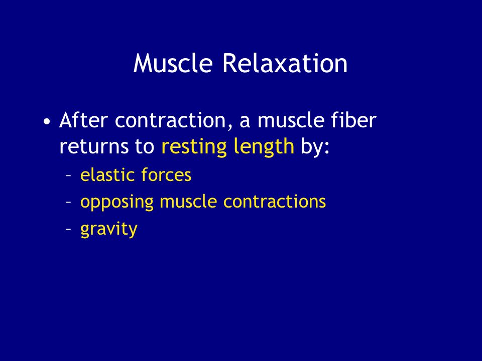 Muscle Relaxation After contraction, a muscle fiber returns to resting length by: elastic forces. opposing muscle contractions.