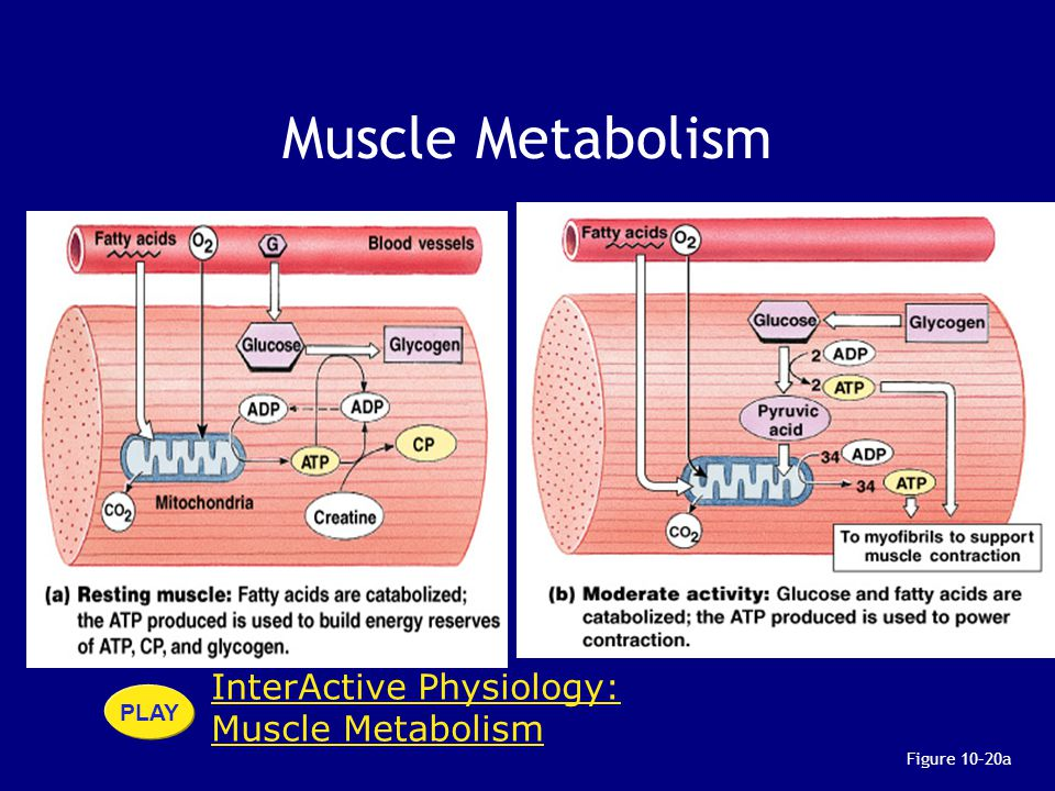 Muscle Metabolism InterActive Physiology: Muscle Metabolism PLAY