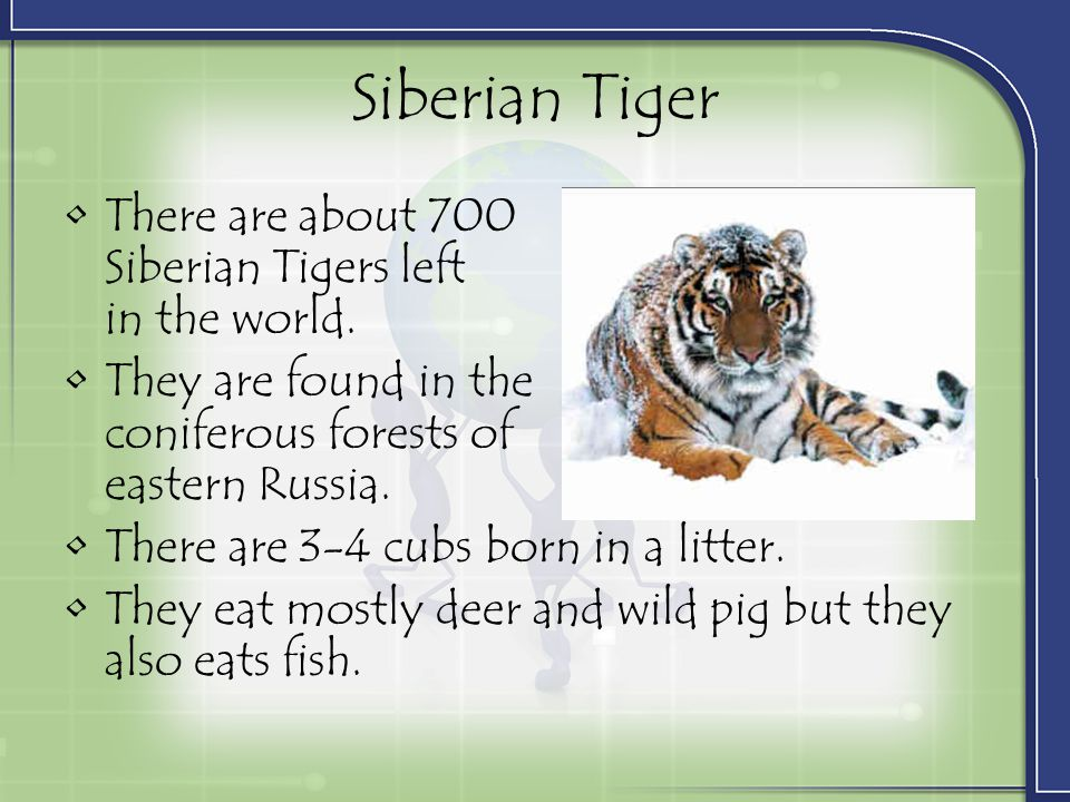 Siberian Tiger There are about 700 Siberian Tigers left in the world.