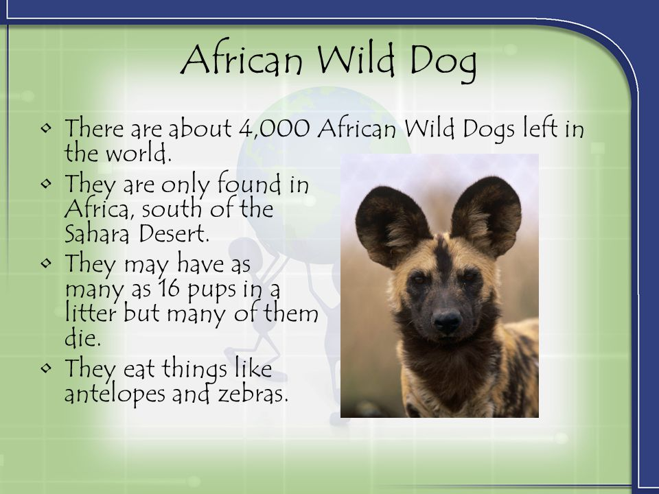 African Wild Dog There are about 4,000 African Wild Dogs left in the world. They are only found in Africa, south of the Sahara Desert.