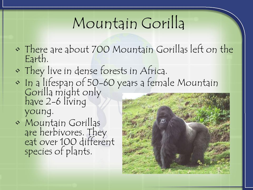 Mountain Gorilla There are about 700 Mountain Gorillas left on the Earth. They live in dense forests in Africa.