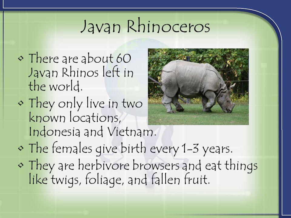 Javan Rhinoceros There are about 60 Javan Rhinos left in the world.