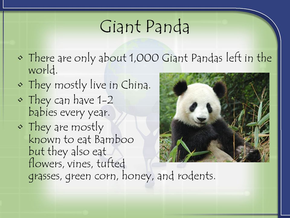 Giant Panda There are only about 1,000 Giant Pandas left in the world.
