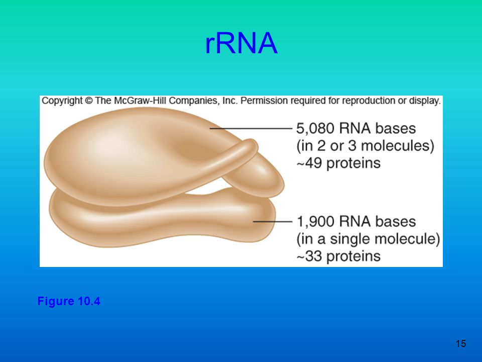 rRNA Figure 10.4 15