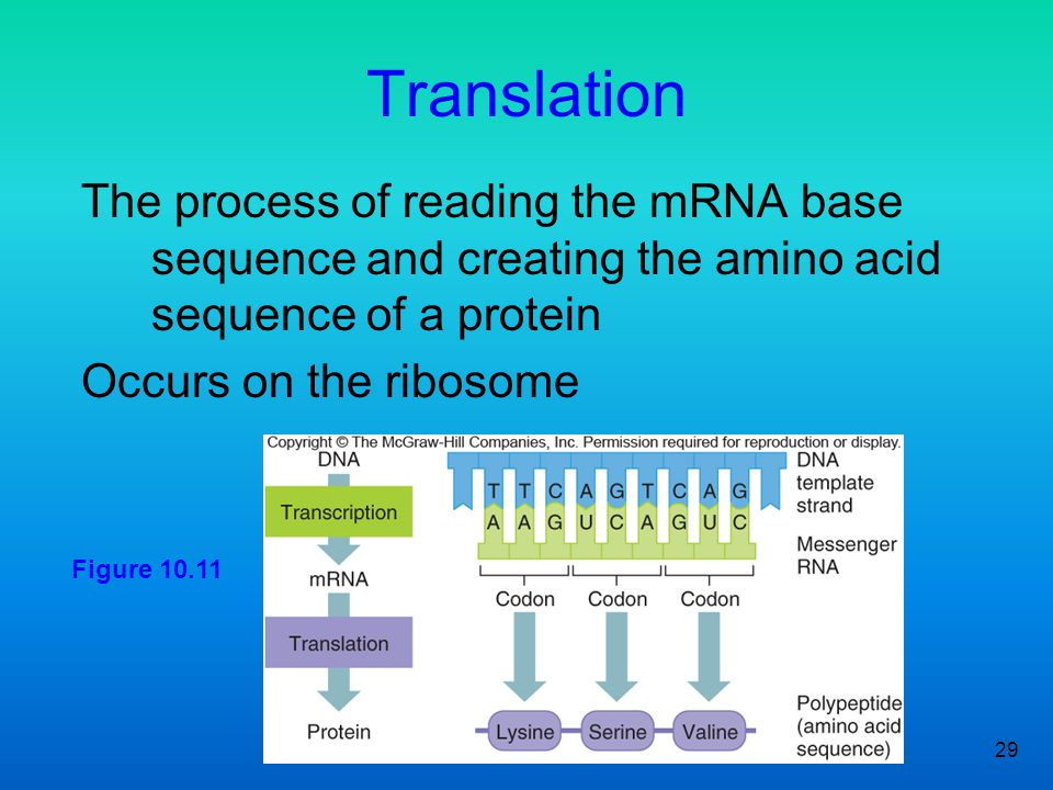 Translation The process of reading the mRNA base sequence and creating the amino acid sequence of a protein.