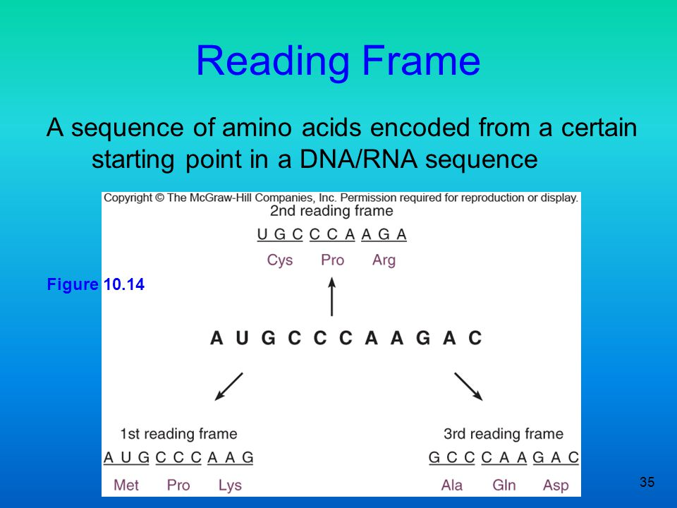 Reading Frame A sequence of amino acids encoded from a certain starting point in a DNA/RNA sequence.