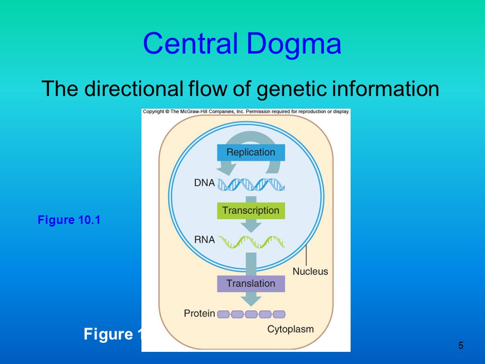 Central Dogma The directional flow of genetic information Figure 10.1