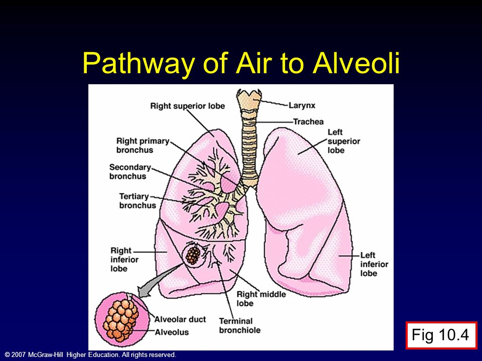 Pathway of Air to Alveoli